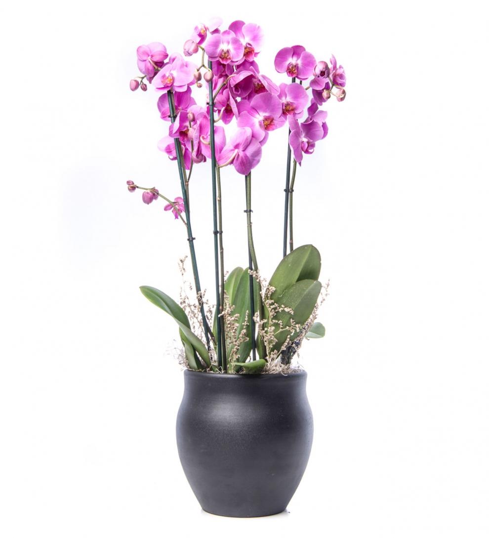 4 Dal Lila Orkide