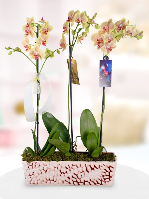3 Dallı Benekli Phalaenopsis Orkidesi